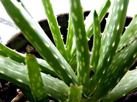 Tanaman Hias Daun Suplir Microfilm 10 jenis tanaman hias pembersih udara tanaman hias tanaman hias
