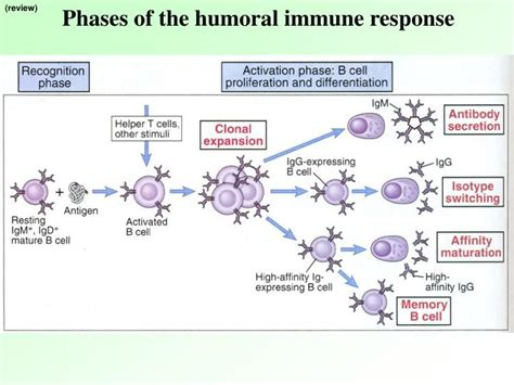 induction phase of the immune response begins when induction phase of the immune response begins when 28 images what are the four phases of