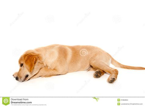 your purebred puppy golden retriever golden retriever puppy purebred stock images image 21892864