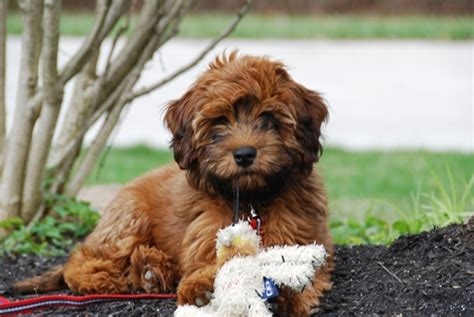 whoodle puppy mini whoodle whoodles puppy 633813771449000000jpg breeds picture