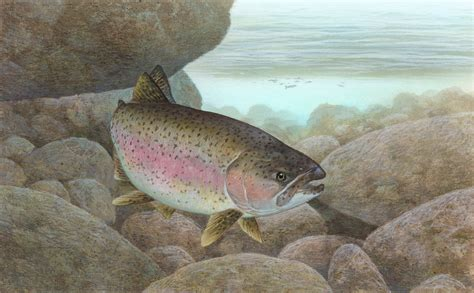 file rainbow trout fws 1 jpg wikimedia commons