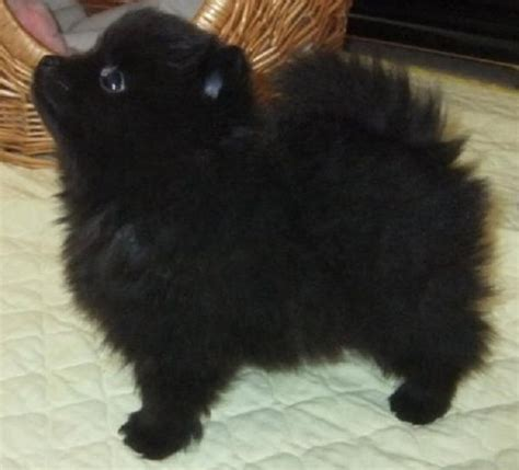 black pomeranian puppies best 25 black pomeranian puppies ideas on