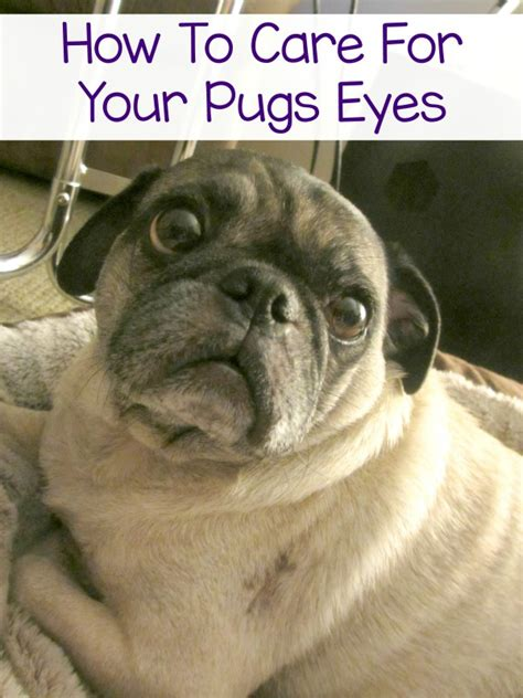 pug eye discharge how i care for my pugs bayerexpertcare emily reviews