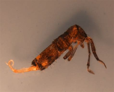 springtails in bed recent sles diagnostician extension entomology kansas state university