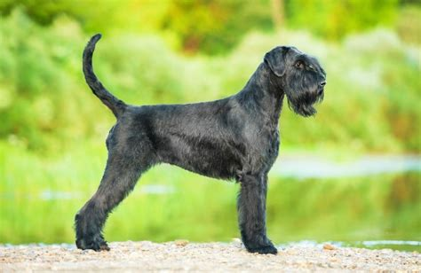 Giant Schnauzer Personality, History, and Pictures