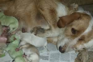 how are puppies born puppies born green breeders in spain