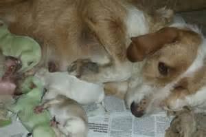 green puppies puppies born green breeders in spain