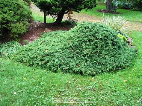 Japanese Garden Juniper by Photo Of The Entire Plant Of Japanese Garden Juniper