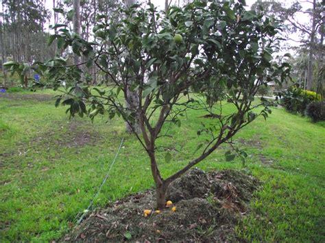 moving fruit trees forum transplanting citrus trees