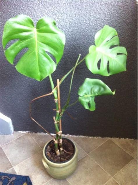 zimmerpflanzen gross gro 223 e zimmerpflanzen neu und gebraucht kaufen bei dhd24