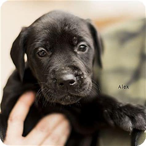 great dane golden retriever mix puppies alex adopted puppy severance co great dane golden retriever mix