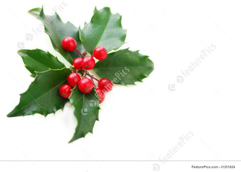 christmas holly stock image   featurepics