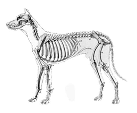 dog skeleton coloring page how to draw a dog