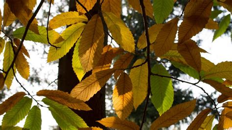 wallpaper daun gugur musim gugur berwarna daun di bawah sinar matahari hd