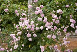 best climbing roses landscaping with climbing roses