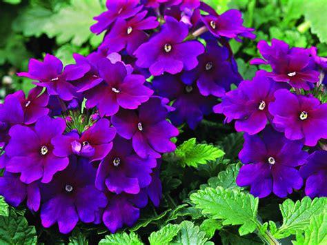imagenes de flores verbenas flores verbena 191 c 243 mo cuidarlas