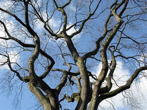 elm tree symbolism american elm state symbols usa