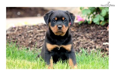 puppy rottweiler for sale near me rottweiler puppy for sale near lancaster pennsylvania 15dd7b4a d221
