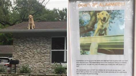 roof jumping dog huckleberry startles passersby meet huckleberry the texas roof dog that is heckin good
