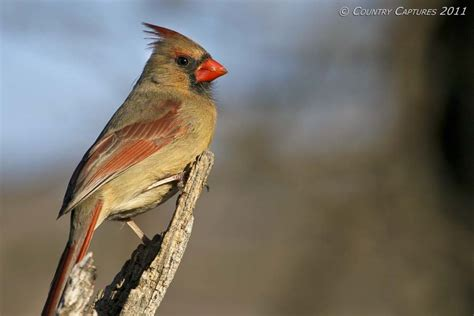 what color are cardinals country captures northern cardinals