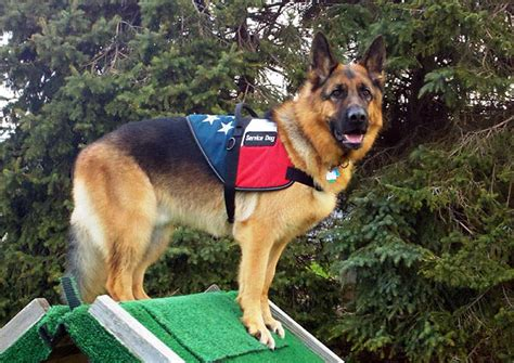 what are service dogs used for breeds used for service breeds picture