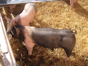 Feeder Pigs Prices weaner and feeder pigs for sale in blackfoot idaho