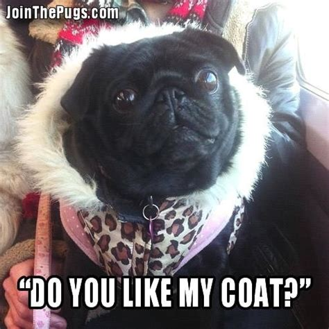 what do pugs like pin pug puppies for sale breeders dogs cake on
