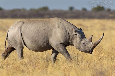 Design Living spitzmaulnashorn black rhinoceros diceros bicornis