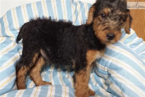 airedale puppies for sale near me airedale terrier puppy for sale near 820bd4c0 7181