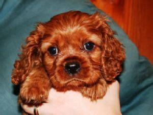 ruby cavalier king charles spaniel puppies for sale cavalier king charles spaniel puppies for sale