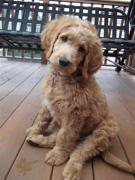 goldendoodle puppy haircuts image result for types of goldendoodle haircuts