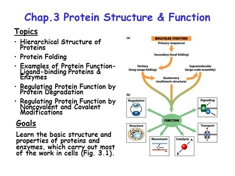 2 protein functions chap 3 protein structure function ppt