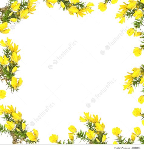 border design flower yellow picture of gorse flower beauty