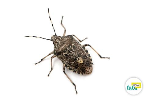 how to get rid of stink bugs in my house how to get rid of stink bugs fab how