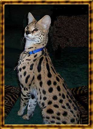 pomeranian puppies for free adoption in hyderabad 17 best ideas about serval for sale on serval cats bengal kittens for