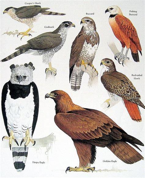 vulture the of an unloved bird books 1000 ideas about buzzard on hawks birds of