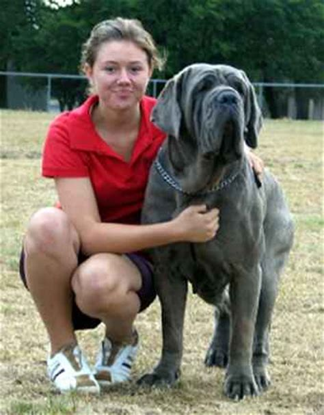 mastiff puppies for sale pa neapolitan mastiff puppies for sale in pa breeds picture