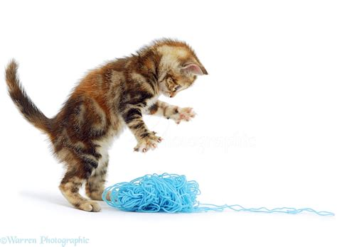 Home Blue Print kitten with blue wool photo wp00967