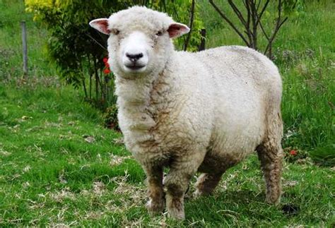 imagenes de ovejas negras ovejas para colorear dibujos para colorear