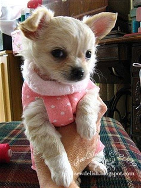 dog coat pattern for chihuahua sewdelish make a quick no sew sweater for a chihuahua