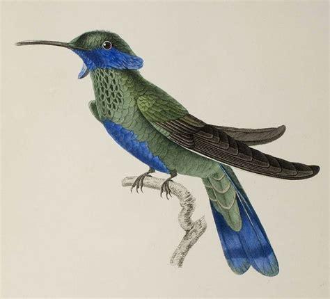 Hummingbird L by Bibliodyssey Hummingbirds