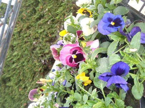 giorgine fiori la finestra di stefania si 232 cercato fiori viola pagina