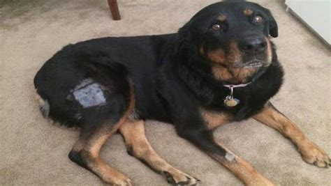 bone cancer in rottweilers kona senior rottweiler with bone cancer had leg utated now requires