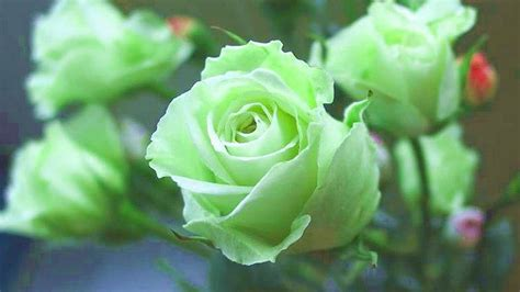 flower wallpaper green rose green rose wallpapers pictures images
