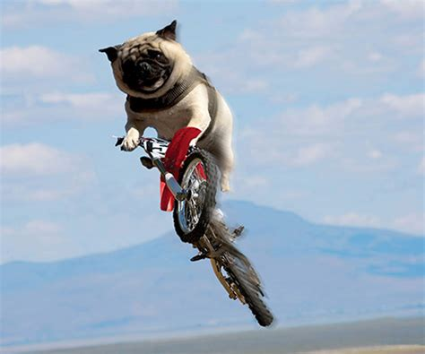 the flying pug psbattle flying pug