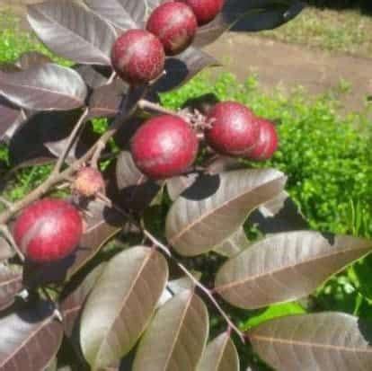 Bibit Kelengkeng Makassar jual tanaman kelengkeng merah ruby 50 70 cm bibit