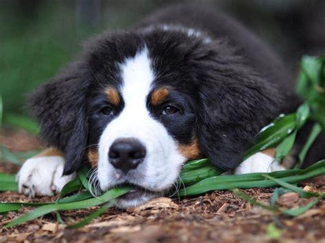 puppies puppies puppies ta berner sennenhund breeds mountain bernese