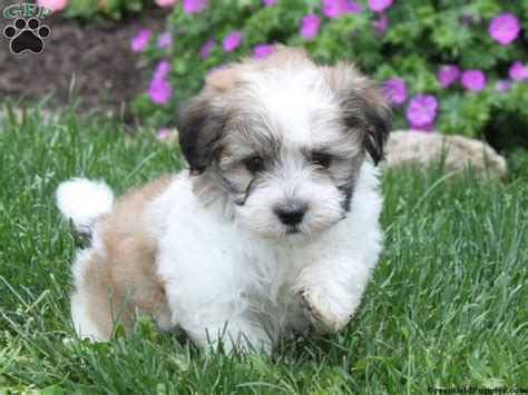 dogs havanese havanese puppy for sale from quarryville pa greenfield puppies fyi