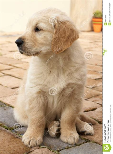smallest golden retriever small golden retriever puppy royalty free stock images image 6512869