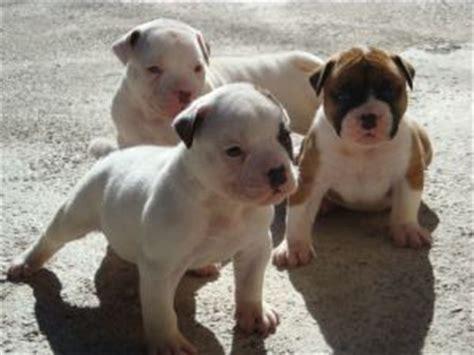 american bulldog puppies for sale in florida american bulldog puppies for sale in miami fl american bulldog puppies breeds